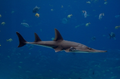 Giant Guitarfishes