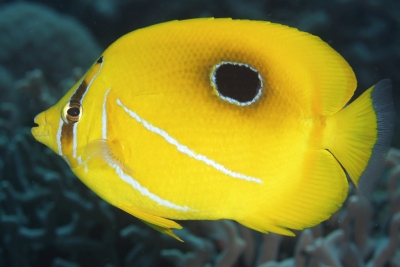 Bennetts butterflyfish