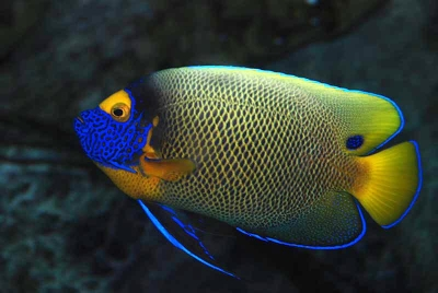 Blue-faced angelfish