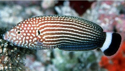 Lined wrasse