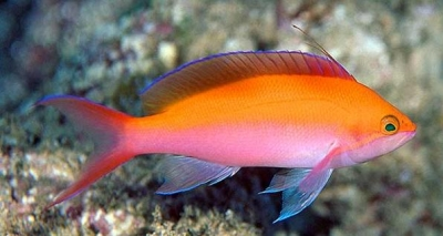Silverstreak anthias