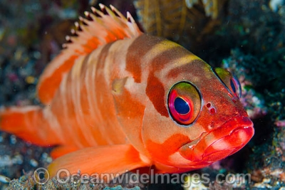 Red-tippedgrouper