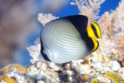 Indian vagabond butterflyfish