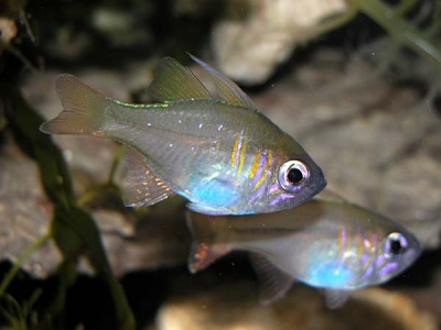 Ghost cardinalfish