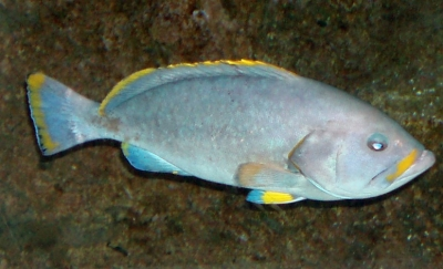 Blue-and-yellowgrouper