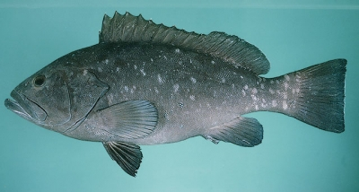 White-blotchedgrouper