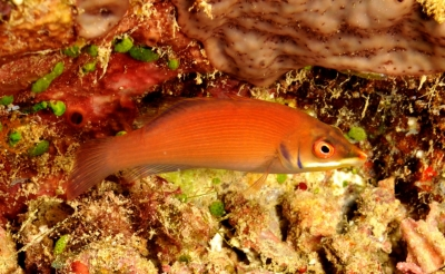 Disappearing wrasse