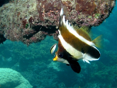Indian bannerfish