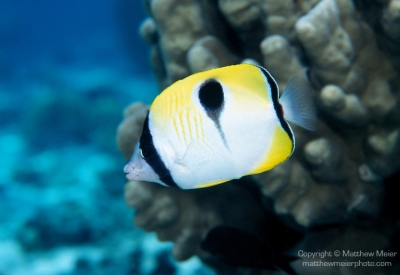Oval butterfly fish
