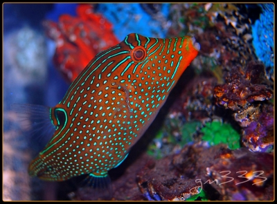 Honeycomb sharpnosed puffer