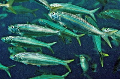 Smoothbelly sardinella