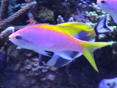 Yellowbackanthias