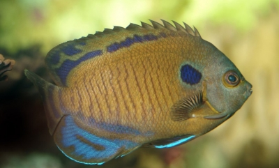 Many-spined angelfish