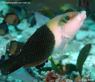 Thicklip wrasse