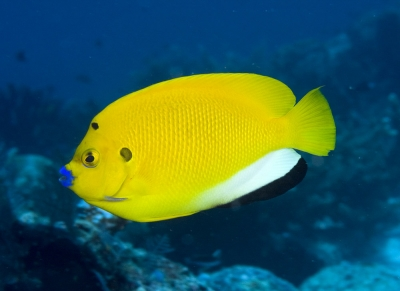 Threespot angelfish