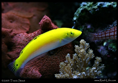 Lemon meringue wrasse