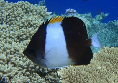 Blackpyramid butterflyfish