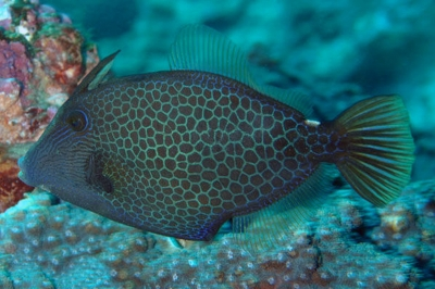 Wirenet filefish