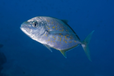 Yellow-spotted trevally