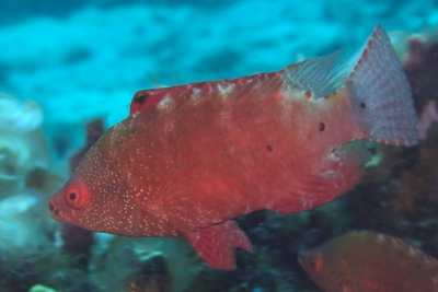 Snooty wrasse