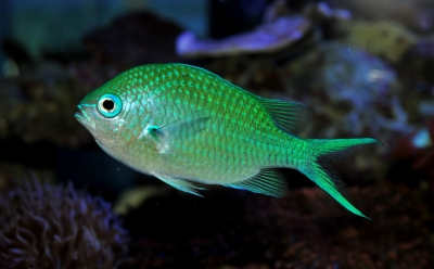 Blue-greenchromis