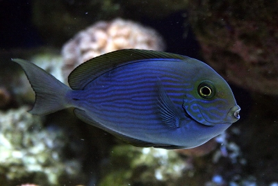Thompsons surgeonfish