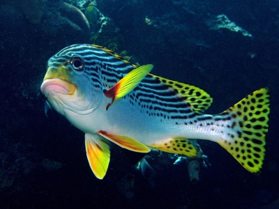 Oriental sweetlips for Sweet lips fish