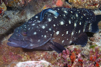 White-spotted grouper