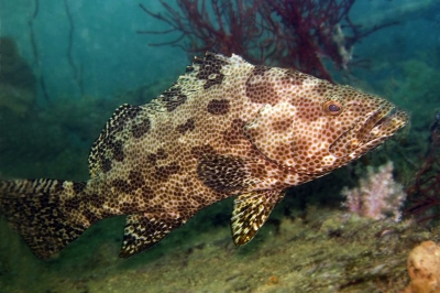 Netfin grouper, Honeyfin grouper