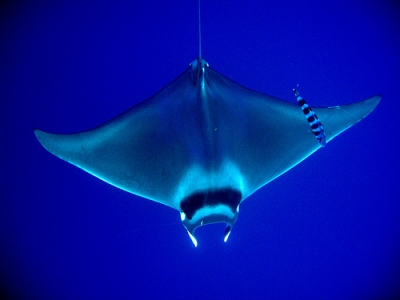Short Fin Pygmy Devil Ray