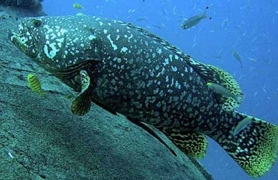 Giantgrouper