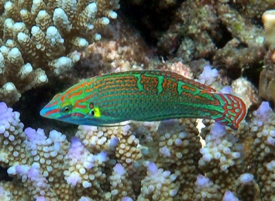 Greenbarred wrasse