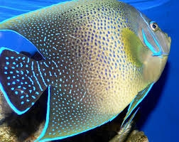 Semicircular angelfish