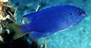 Peacock damselfish