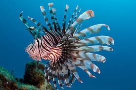Indian lionfish, Soldier turkeyfish Family