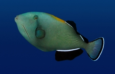 Indian triggerfish