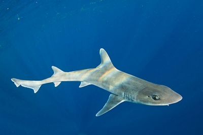 Starspotted smooth-hound shark