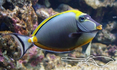 Orange spine unicornfish