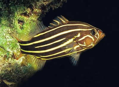 Golden-stripedsoapfish