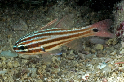 Black striped cardinalfish