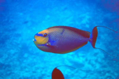 Vlamings unicornfish