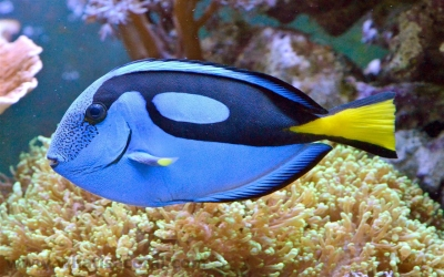 Palette surgeonfish, Wedge-tail surgeon