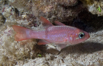 Redbarred cardinalfish