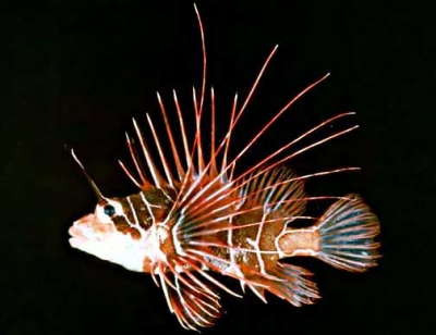 Clearfin lionfish, Clearfin turkeyfish