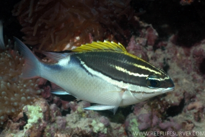 Yellow-stripe monocle bream