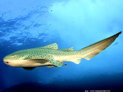 Zebra shark, Variegated shark