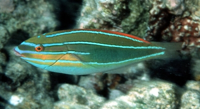 Stripebelly wrasse