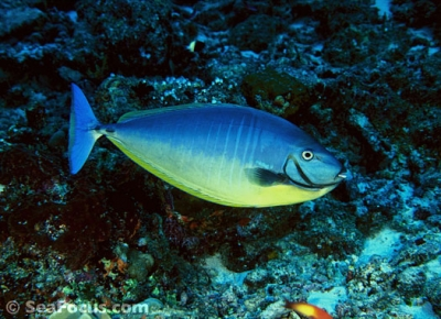 Sleek unicornfish