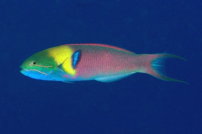 Bluntheaded wrasse