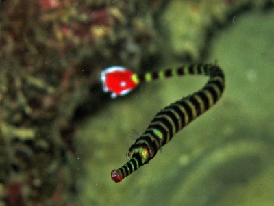 Redtailed pipefish